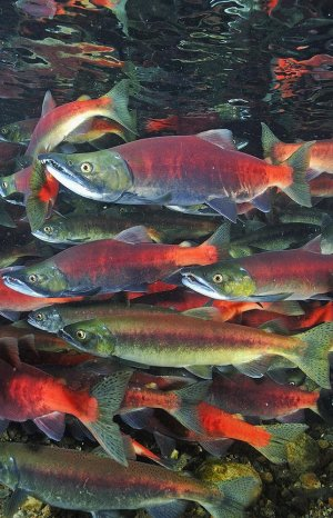 Kokanee Salmon Run in Utah